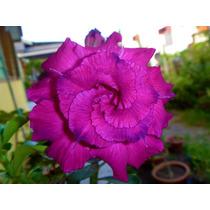Rosa Do Deserto 25 Sementes Rosas Triplas Adenium 25 Cores