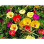 1100 Sementes De Flor Onze Horas + Frete Grátis