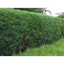Cedro / Cipreste Cerca Viva 500 Sementes P/ Mudas Bonsai