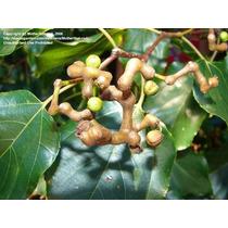 Sementes Uva Do Japão Hovenia Dulcis Fruta P/ Mudas