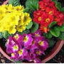 Sementes Da Flor Primula Elatior Sortida #upd1