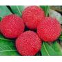 Sementes Fruta Yamamomo Morango Chines Myrica Rubra P/ Mudas