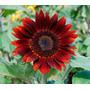 25 Sementes De Girassol Vermelho - Frete Grátis
