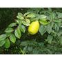 Sementes Marmelo Chines Pseudocydonia Sinensis Árvore Mudas