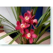 Sementes De Orquídea Cymbidium Vermelha - 10 Sementes