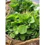 Amaranto Verde Vegetal Comestível Sementes Para Mudas