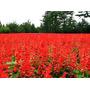 Flor Sálvia Splendens **flor-de-cardeal** 30 Sementes+brinde