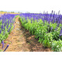 Salvia Ervas Condimento Tempero Sementes Para Mudas + Brinde