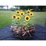 Girassol Anão De Jardim Sementes Flor Para Muda