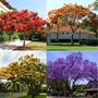 Kit Flamboyant + Jacarandá 4 Cores Sementes Flor Para Mudas