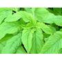 Amaranth Green Comestível Sementes Flor Vegetal Para Mudas