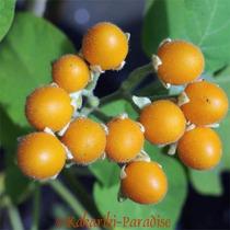 Sementes Mini Tamarilho Amarelo Tomate De Árvore Anão P Muda
