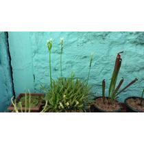 Sementes De Drosera Capensis Alba - Planta Carnívora