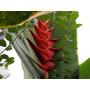 Muda Da Linda Flor Heliconia Vermelha Larga