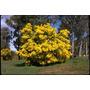 Sementes Acacia Polybotrya Cassia Lindas Flores Árvore Mudas