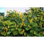 Candelabra Bush - Vela De Ouro Sementes Flor Para Mudas