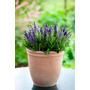 Salvia Nemorosa Flor Sementes Para Mudas
