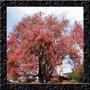 Cassia Gradis - Acassia Rosa - Sementes Para Mudas