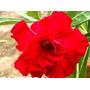 Adenium Obesum 240 Sementes Raras (30 Cores) Rosa Do Deserto