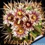 Sementes Cactus Flor Stenocactus Coptonogonus Suculenta