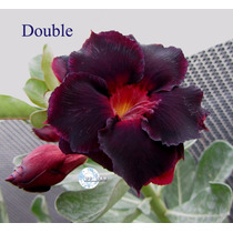 Kit Com 5 Sementes De Rosa Do Deserto/adenium Double Black