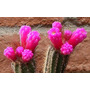 Sementes Cactos Arrojadoa Rhodantha Cactus Flor Mudas