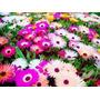 1000 Sementes Da Flor Ficóide Tapete Mágico #40xk