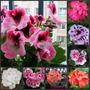 40 Sementes Kit Gerânio Planta Flores Bonsai