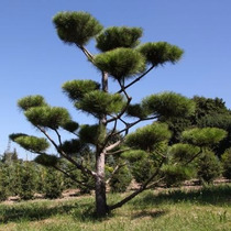 Pinheiro Vermelho Japones Sementes Para Mudas Ou Bonsai