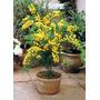 Acacia Golden Mimosa Sementes Flor Para Mudas E Bonsai