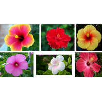 10 Sementes Hibiscus Hibisco/isis 6 Cores Mix - Frete Grátis
