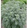 Sementes De Losna Absinto Artemisia Absinthium Condimento