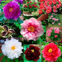 Rosa Peonia Gigante - Peony Mix - Sementes Flor Para Mudas
