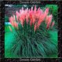 Capim Dos Pampas Cortaderia Pink Sementes Flor Para Mudas