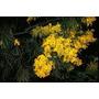 Sementes Acacia Adunca Cassia Lindas Flores Árvore Mudas