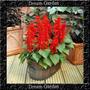 Salvia Splendens Vermelha Anã Sementes Flor Pra Mudas