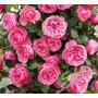Sementes Flor Rosa Trepadeira Pink P/ Mudas Importadas
