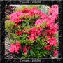 Kalmia Latifolia Tipo Azalea Sortida Sementes Flor Para Muda