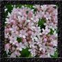 Valeriana Officinalis - Sementes Erva Flor Para Mudas