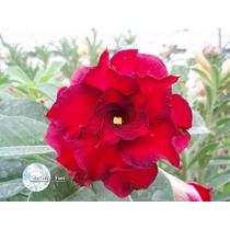 Kit Com 5 Sementes De Rosa Do Deserto/adenium Fire Fengwang