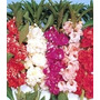 60 Sementes Flor Balsamina Camélia Sortida/ Beijo De Frade
