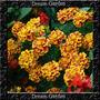 Cravo-da-índia Tagete Sortida Sementes Flor Para Mudas