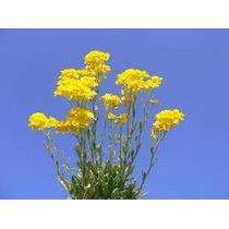 Sementes De Alyssum Gold Dourada Flor Mel Lobularia Marítima