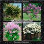 Lilac Collection - Arbusto Perfumado Sementes Flor Pra Mudas