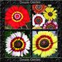 Crisantemo Carinatum Sunshine Sementes Flor Para Mudas