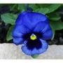 70 Sementes Amor Perfeito Gigante Suíço Azul #tc59