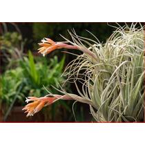 Bromélia Tillandsia Meridionalis / Tillandsia Recurvifolia