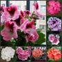 40 Sementes Kit Gerânio Planta Flores Bonsai + Frete Grátis