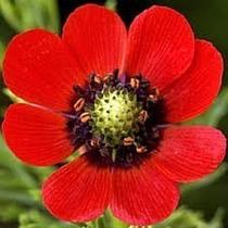 Sementes Da Flor Adonis Olho De Faisão #xewx