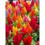 100 Sementes Flor Rabo De Galo - Celósia Plumosa Vaso Jardim